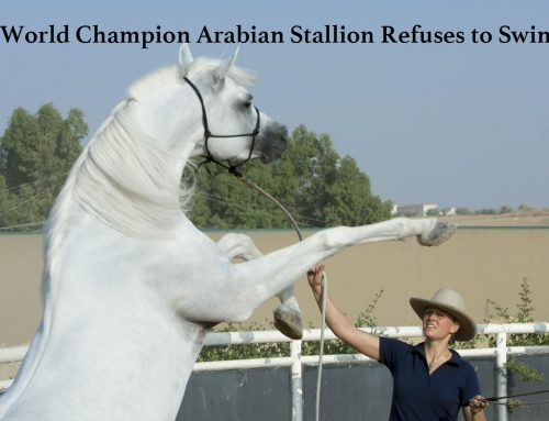 World Champion Arabian Stallion Refuses to Swim